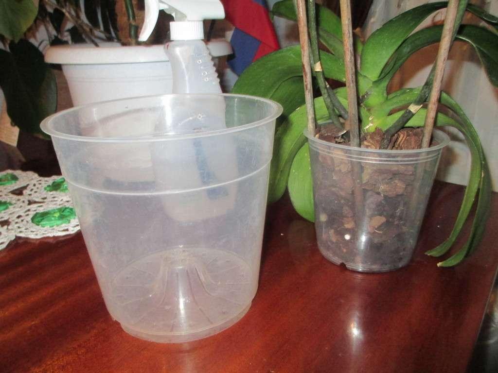 Orchidee Meravigliose Trucchi E Segreti l'orchidea ha radici secche in cima. radici di orchidea