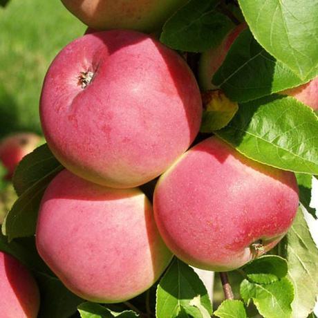 Peach Tree rýchlosť datovania